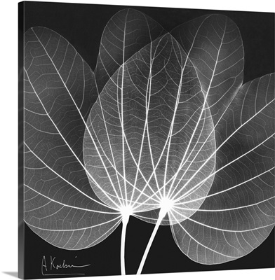 Orchid Tree x-ray photography
