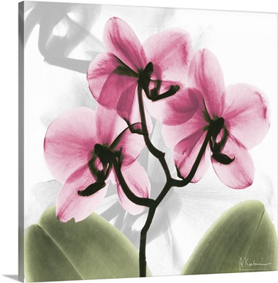 Pink Orchid x-ray photography