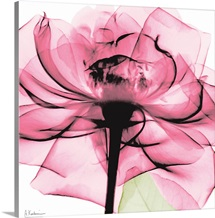 Pink Rose x-ray photography