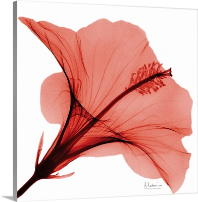 Red Hibiscus x-ray photography