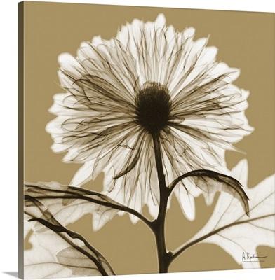 Sepia Chrysanthemum X-Ray Photograph