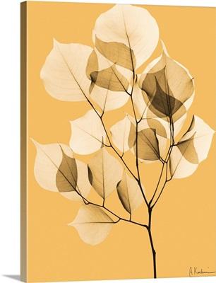Sepia Dalbersia Leaf X-Ray Photograph
