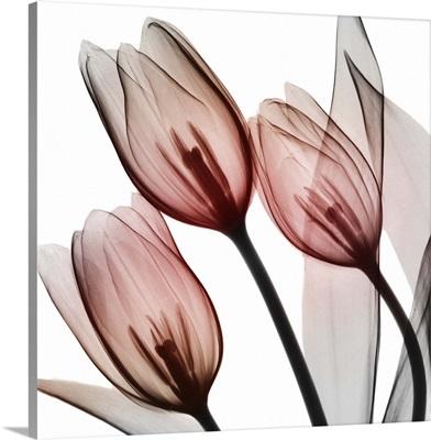Splendid Tulips