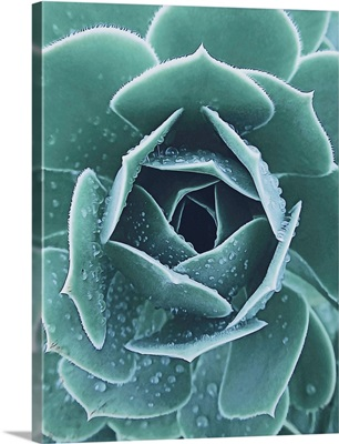 Succulent With Dew
