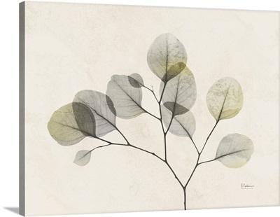 Sunkissed Eucalyptus 2