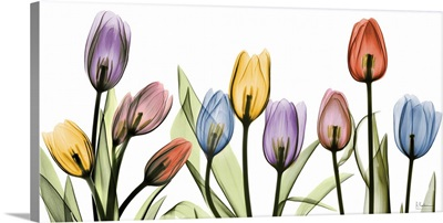 Tulip Scape x-ray photography