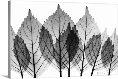 X-Ray Leaves II x-ray photography