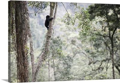 A Baby Gorilla Climbs A Tall Tree, Bwindi Impenetrable National Park, Uganda