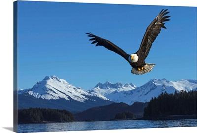 A bald eagle soars against a blue sky in Auke Bay near Juneau, Alaska