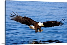 A bald eagle swoops in with talons extended to catch a fish in Southeast, Alaska
