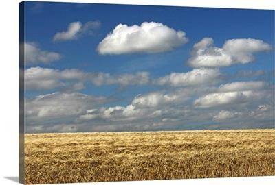 A Barley Field In East Cork, Ballycotton, County Cork, Ireland