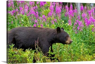 A Black Bear searches for soap berries along the Tatshenshini River
