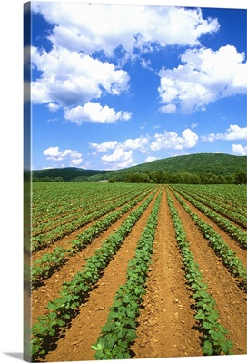 A clean early growth cotton field growing in red clay