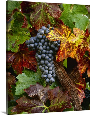 A cluster of mature, harvest ready Zinfandel wine grapes on the vine