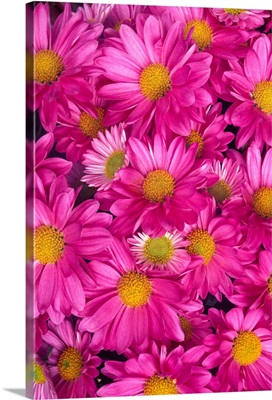 A Cluster Of Pink Painted Daisies (Chrysanthemum Coccineum)