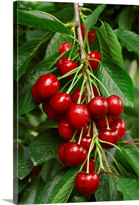 A cluster of ripe Bing cherries on the tree, ready for harvest