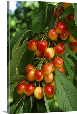 A cluster of ripe Rainier cherries on the tree, ready for harvest