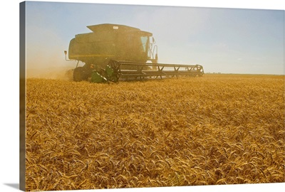 A Combine Harvester Works A Field Of Winter Wheat, Manitoba, Canada