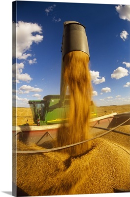 A combine unloads harvested wheat into a grain truck for transport to a grain elevator