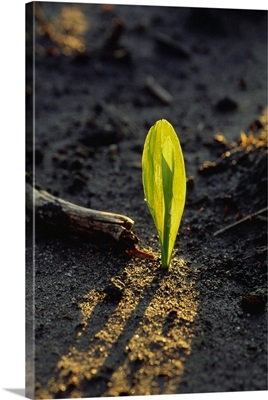 A corn seedling emerging from the soil, backlit by the early morning light, Iowa