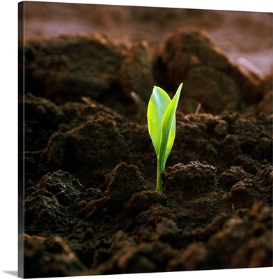 A corn seedling emerging from the soil in early morning light, Iowa