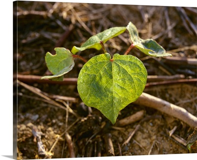A cotton seedling showing first true leaves, planted no-till in cotton stubble