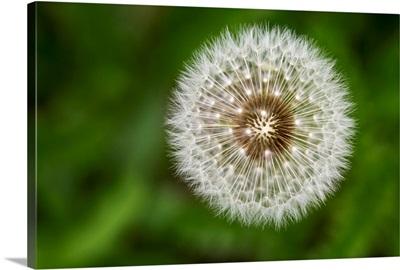 A dandelion fuzzy seeds, Calgary, Alberta, Canada