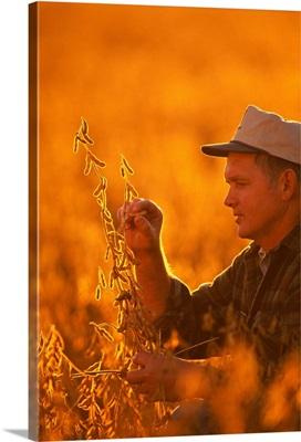 A farmer checks his mature crop of soybeans, Minnesota