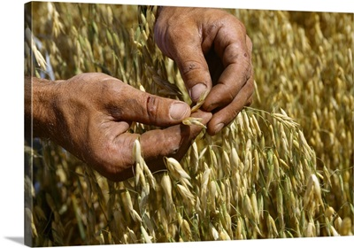 A farmer checks oats for quality and readiness for harvest, Kansas