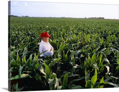 A farmer in shoulder-high grain corn field inspecting the healthy crop