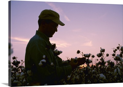 A farmer inspects his mature cotton crop prior to harvest at sunset, Arkansas