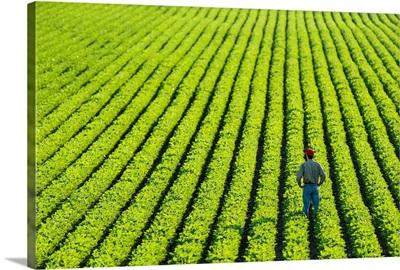 A farmer walking through a large green soybean field in central Iowa in summer, Iowa