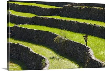 A Farmer Walks Along The Rice Terraces; Batad, Northern Luzon, Philippines