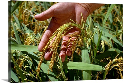 A farmer's hand holds a head of mature rice in the field, Mississippi