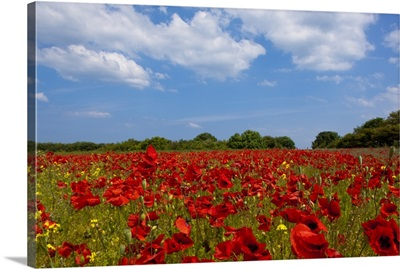 A Field Full Of Red Flowers; Northumberland, England