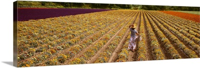 A field of commercially grown Gazanias