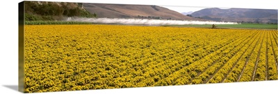 A field of commercially grown Marigold flowers