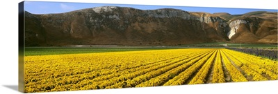 A field of commercially grown Marigolds