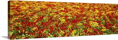 A field of commercially grown Nasturtiums