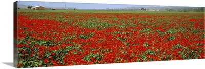 A field of commercially grown Nasturtiums flowers