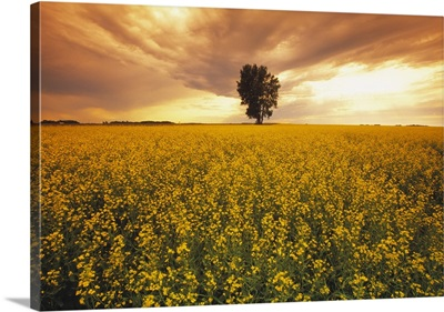 A field of mid growth canola in full bloom at sunset with a lone tree in the distance