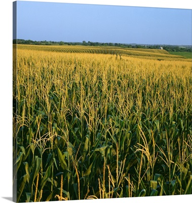 A field of mid growth tasseled grain corn in summer with farmsteads in the distance