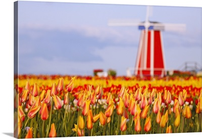 A Field Of Tulips And A Windmill At Wooden Shoe Tulip Farm, Woodburn, Oregon