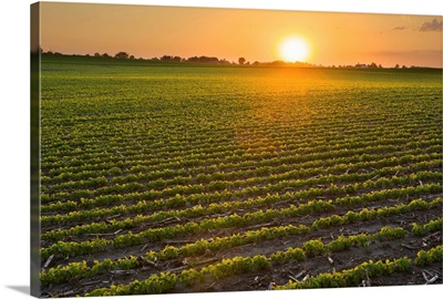 A field of young soybean plants at sunset in central Iowa