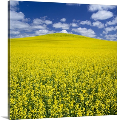 A hillside canola field in full bloom with a blue sky and white clouds, Manitoba
