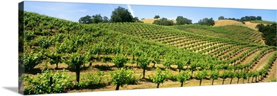 A hillside wine grape vineyard showing foliage growth, Murphy-Goode Vineyards