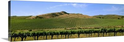 A hillside wine grape vineyard showing late Spring foliage growth, Cat Canyon Vineyard