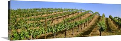 A hillside wine grape vineyard showing Spring foliage growth, Peter Michael Vineyards