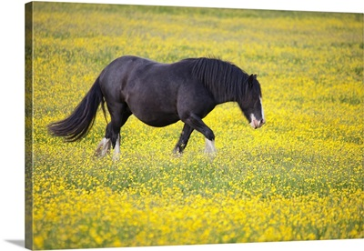 A Horse Walking In A Field Of Yellow Flowers; Northumberland, England