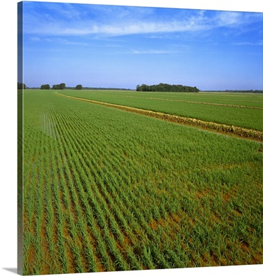 A large field of early growth rice plants during flood stage, Parkin, Arkansas